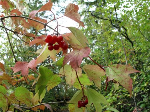 fresh red berries in bushes