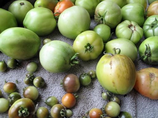 close up of green tomatoes of small and large sizes