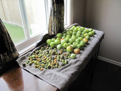 green tomatoes of different sizes in a towel