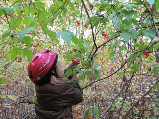 a kid wearing bike helmet in the bushes picking cranberries