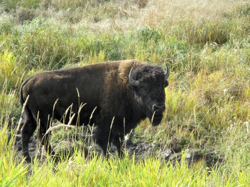 buffalo in the grasses