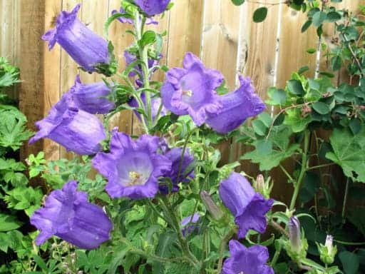 blue violet canterbury bells in the yard