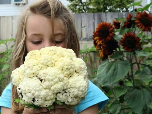 little girl holding and looking down the newly harvest cauliflower