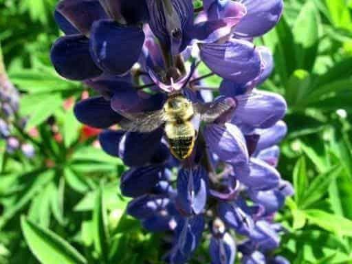 close up of honeybee in blue violet flower