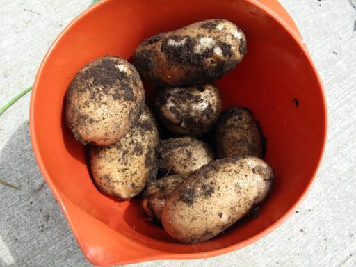 red pail with mix sizes of harvested potatoes