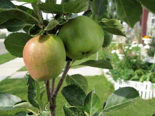 apple tree with two green fruits