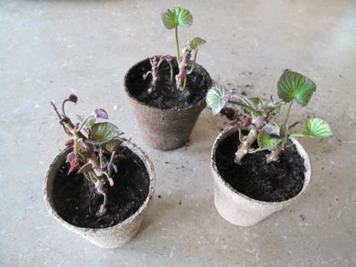 Planting Sweet Potatoes From Slips