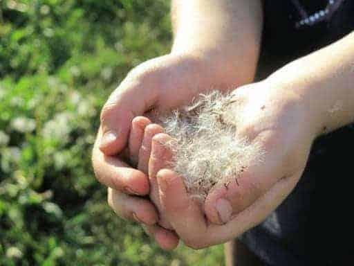 kid's hand full of dandelions
