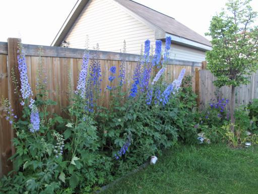 delphiniums with flowers on the side of the fence