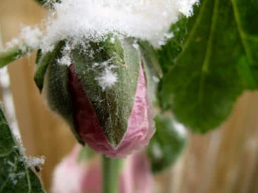 close up of a pink unopened flower with a snow