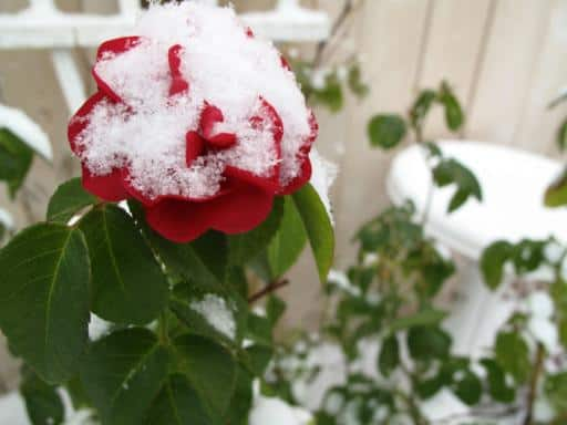red rose with snow started blooming