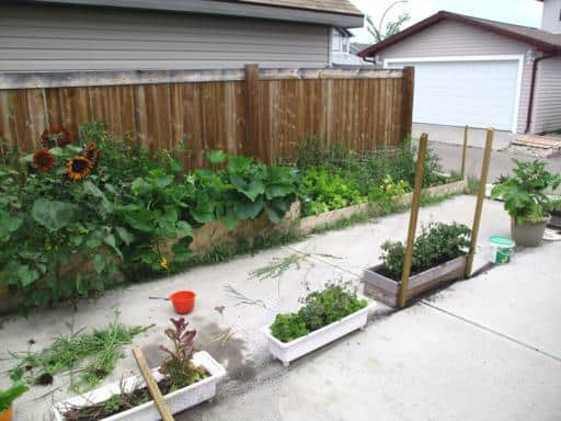 pumpkin and zucchini growing near the fence