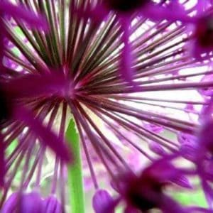 close up of violet flower