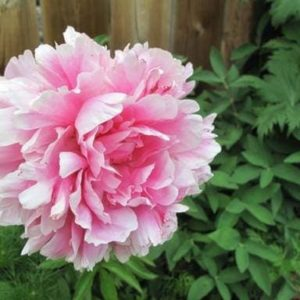 close up of pink peony with green leaves