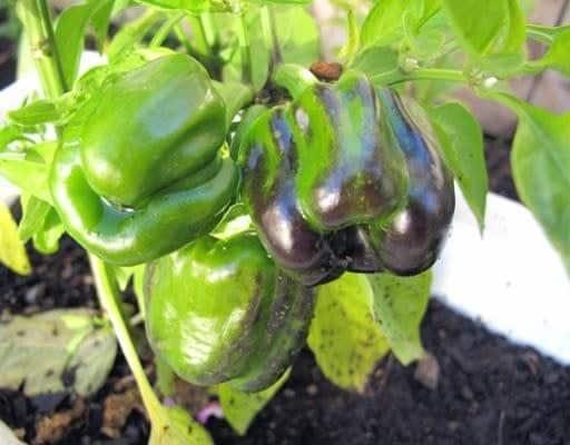 Dear Green Pepper