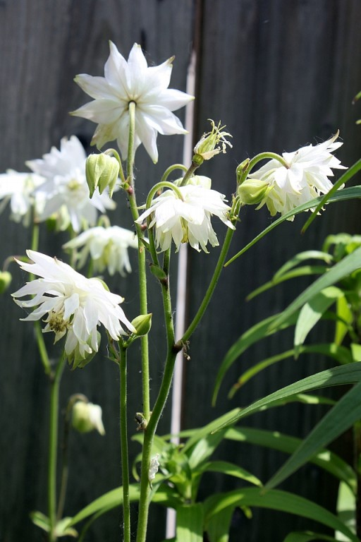 Aquilegia with white flowers