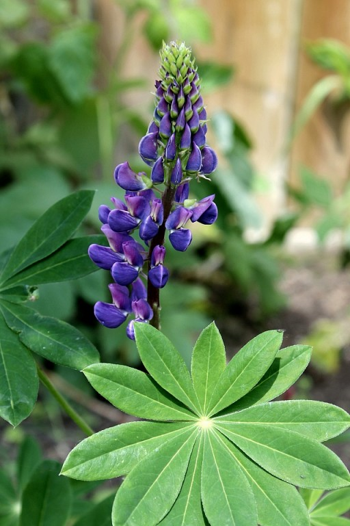 close up of colored violet Lupine flower