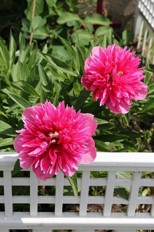 pink peonies flowers in full bloom