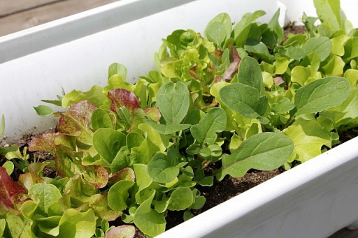 leafy mesclun growing in a white container