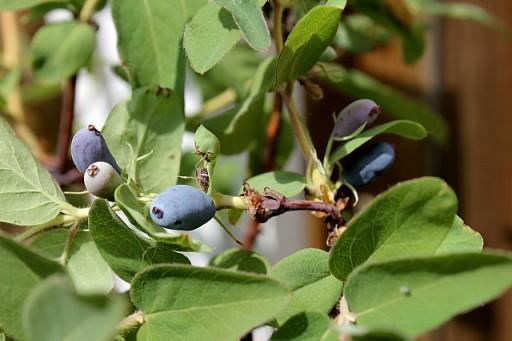 bush berries that soon will ripe