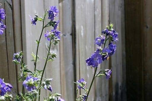blue violet colored jacob's ladder flower