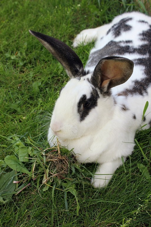 white spotted rabbit enjoy eating the grass