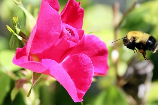 close up of a bee near a pink flower