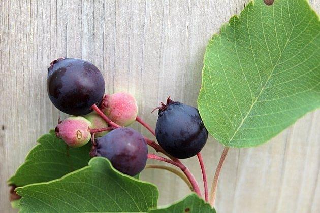 Saskatoon's in the backyard with fresh Saskatoon berries