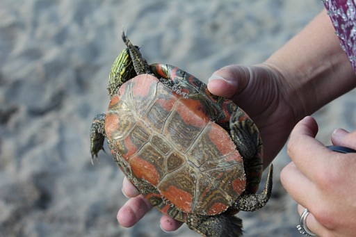 close up of a painted turtle