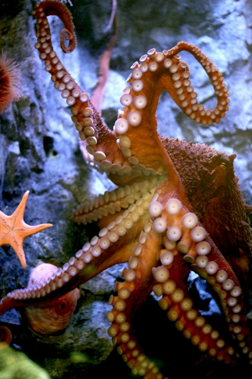 close up of Octopus in the aquarium