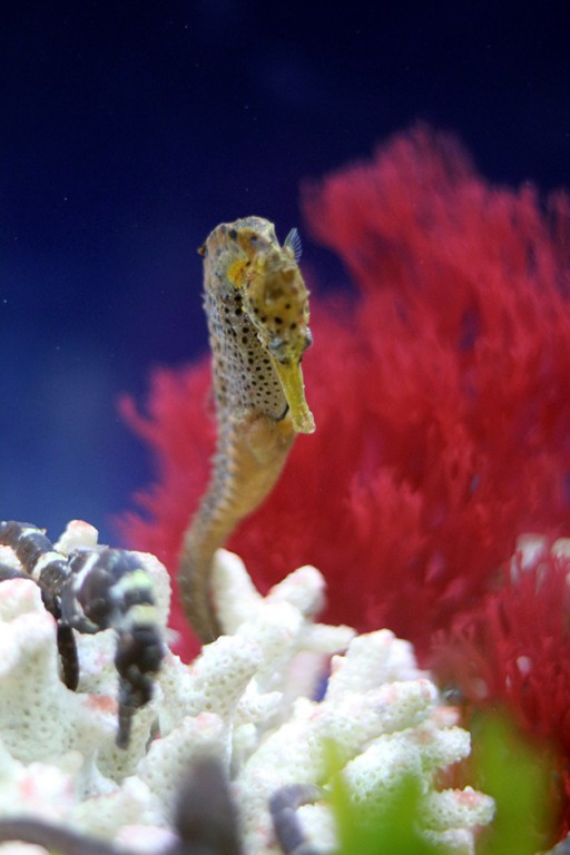 close up of seahorse near the corals