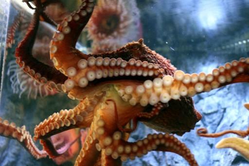 Octopus in the aquarium