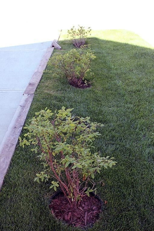 the after look wherein three honeyberry bushes are planted