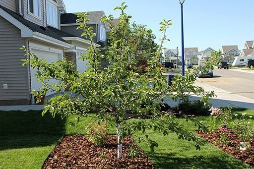 My edible front yard is complete the kitchen magpie for Small front lawn trees