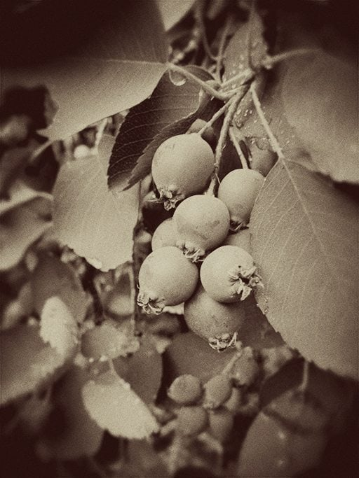 vintage finish photo of Saskatoon berries