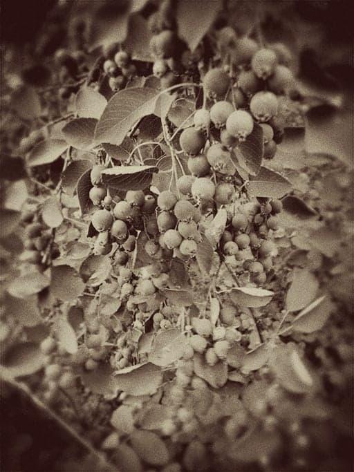 vintage photo of Saskatoon berries growing abundantly