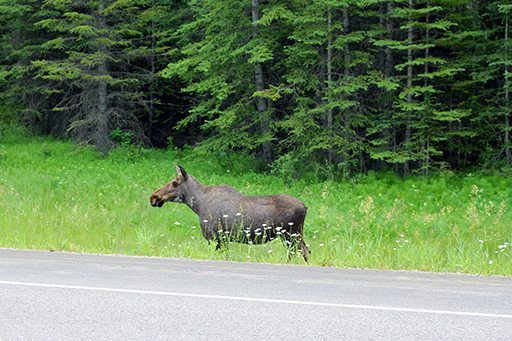 A moose near the road