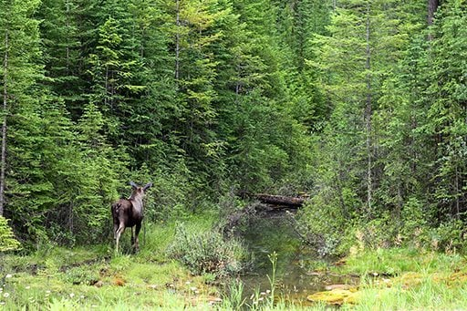 nice back view of the moose going to the forest