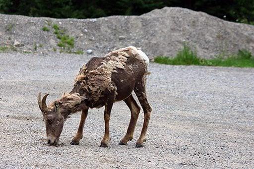 mountain sheep eating something
