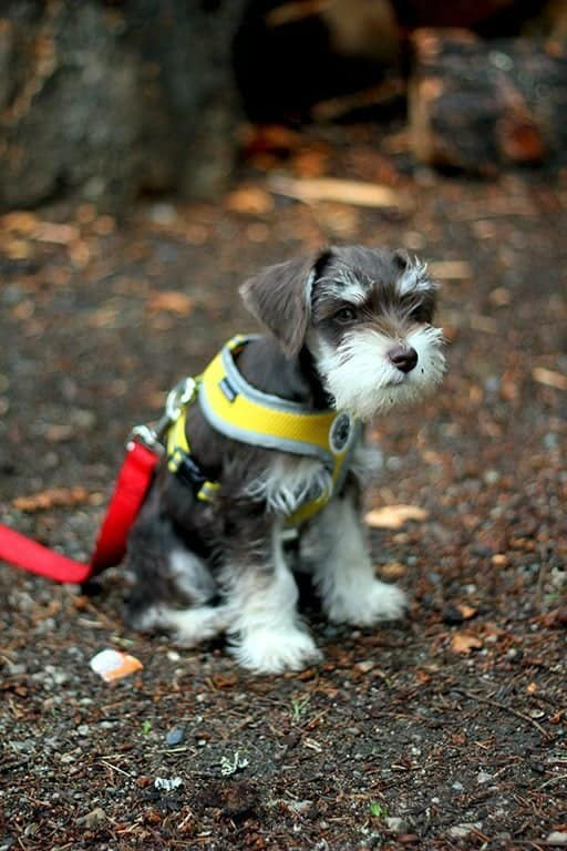 cute little dog with yellow harness