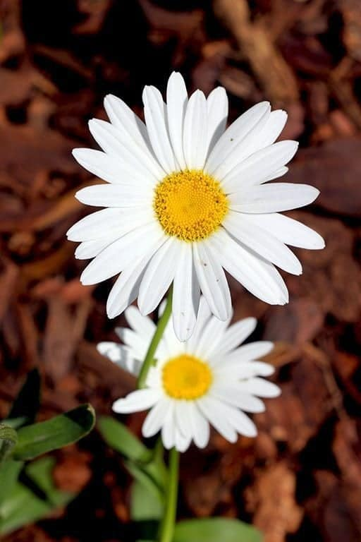 close up of white Shasta daisies flowers