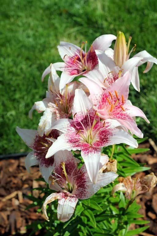 close up of stargazer lily flowers