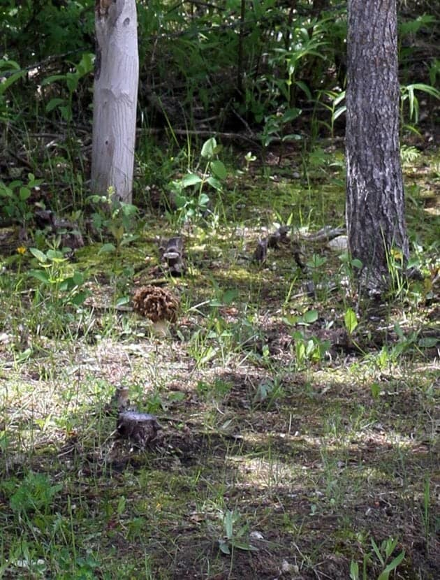 How To Find Morels in Alberta- Part 2- Where & How To Find Them