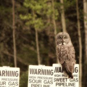 Great Grey Owl in a warning signage