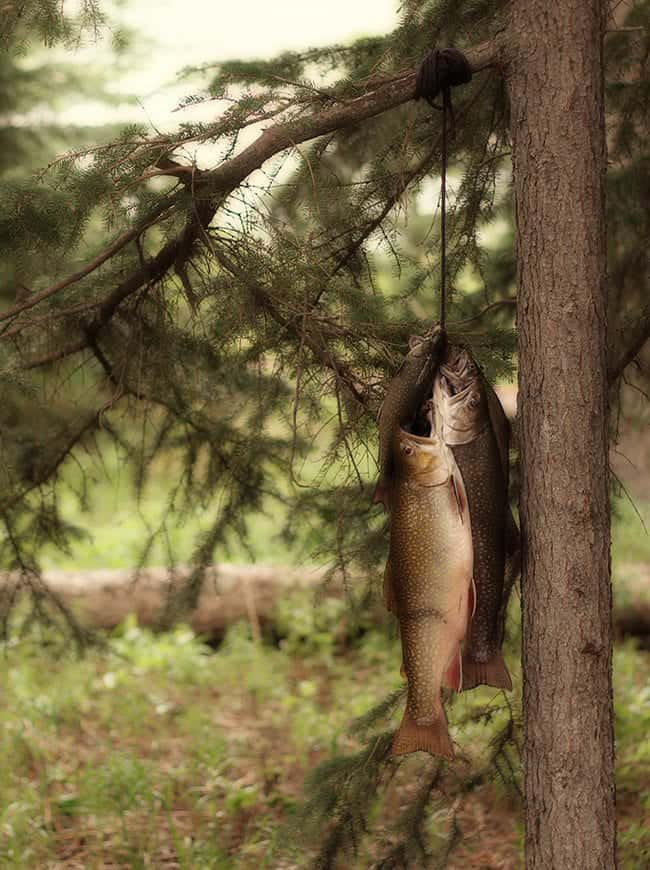 Caught Alberta Brook Trouts Hanging in a a Branch of a Tree