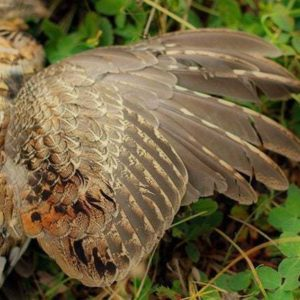 fallen ruffed grouse from grouse hunting