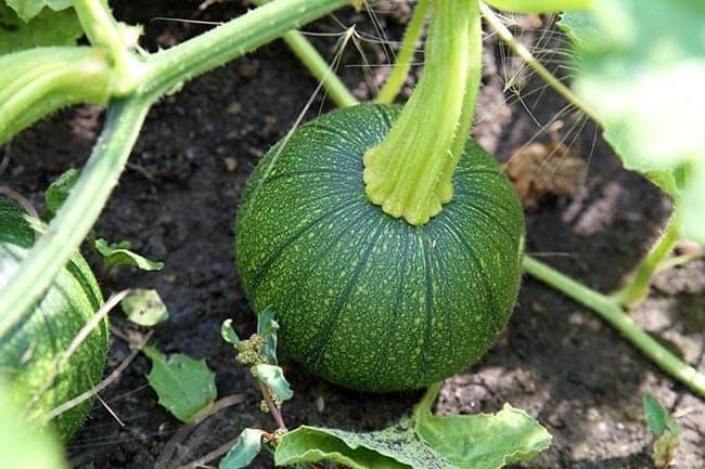 close up of small green squash