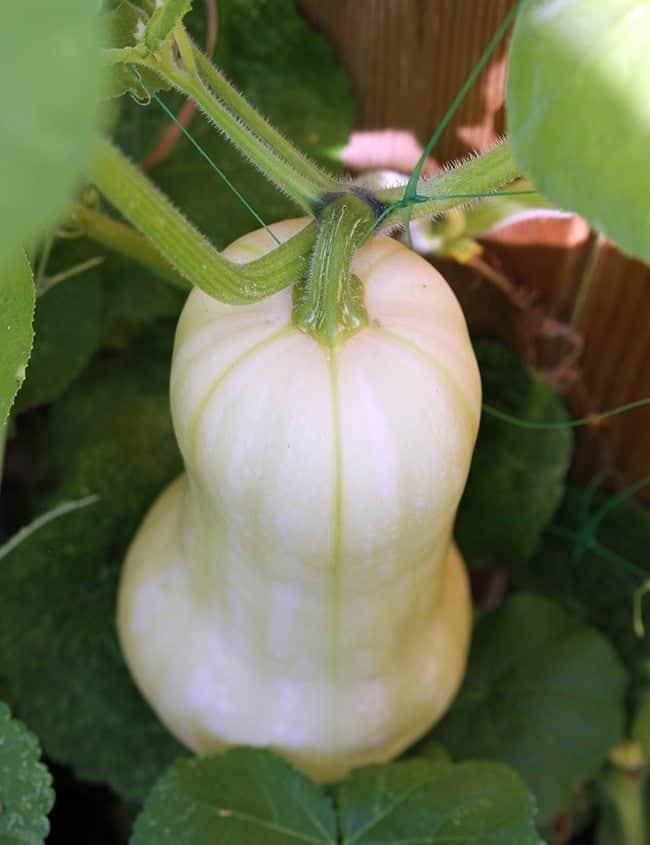 close up of white cushaw pumpkin