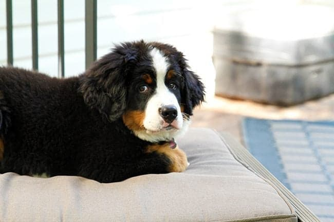 River - new Bernese Mountain puppy