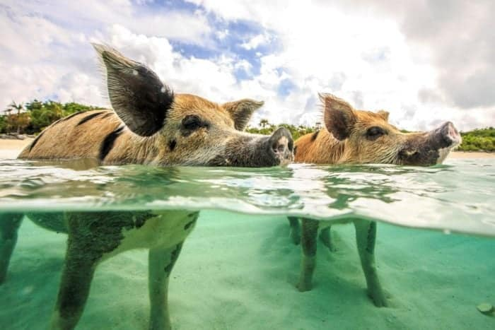 two pigs swimming in the beach